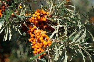 sea-buckthorn-3701975_960_720.jpg