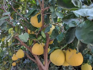 grapefruits-2109616_960_720.jpg